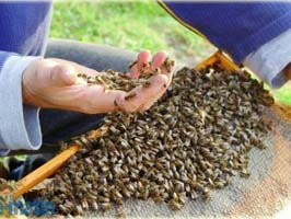 rama cu albine